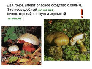 Два гриба имеют опасное сходство с белым. Это несъедобный желчный гриб (очень
