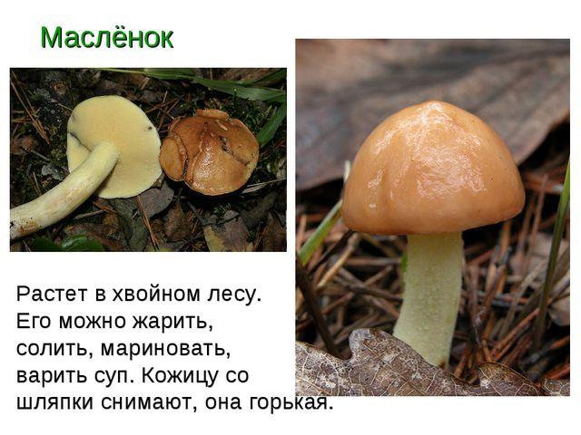 Маслёнок Растет в хвойном лесу. Его можно жарить, солить, мариновать, варить...