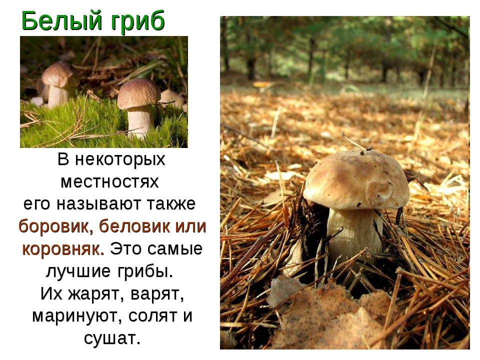 Белый гриб В некоторых местностях его называют также боровик, беловик или кор...