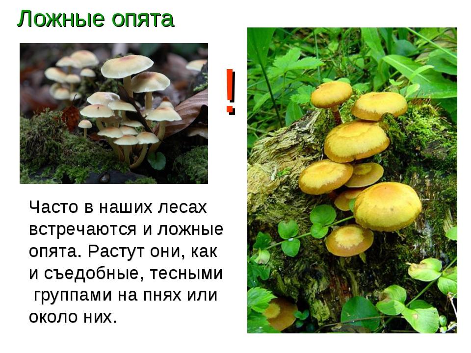 Ложные опята Часто в наших лесах встречаются и ложные опята. Растут они, как...
