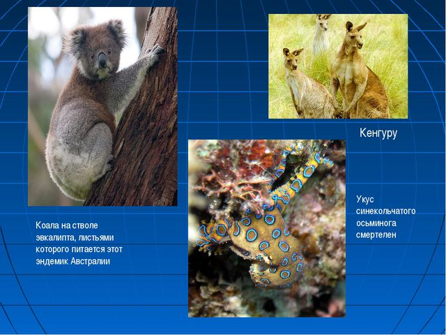 Коала на стволе эвкалипта, листьями которого питается этот эндемик Австралии...