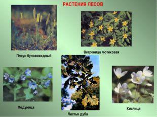 РАСТЕНИЯ ЛЕСОВ Листья дуба Плаун булавовидный Медуница Ветреница лютиковая Ки