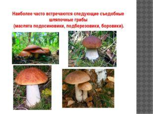 Наиболее часто встречаются следующие съедобные шляпочные грибы (маслята подос