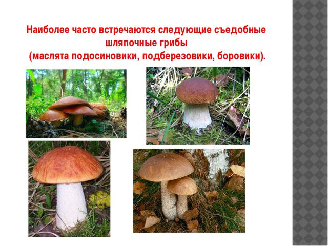 Наиболее часто встречаются следующие съедобные шляпочные грибы (маслята подос...