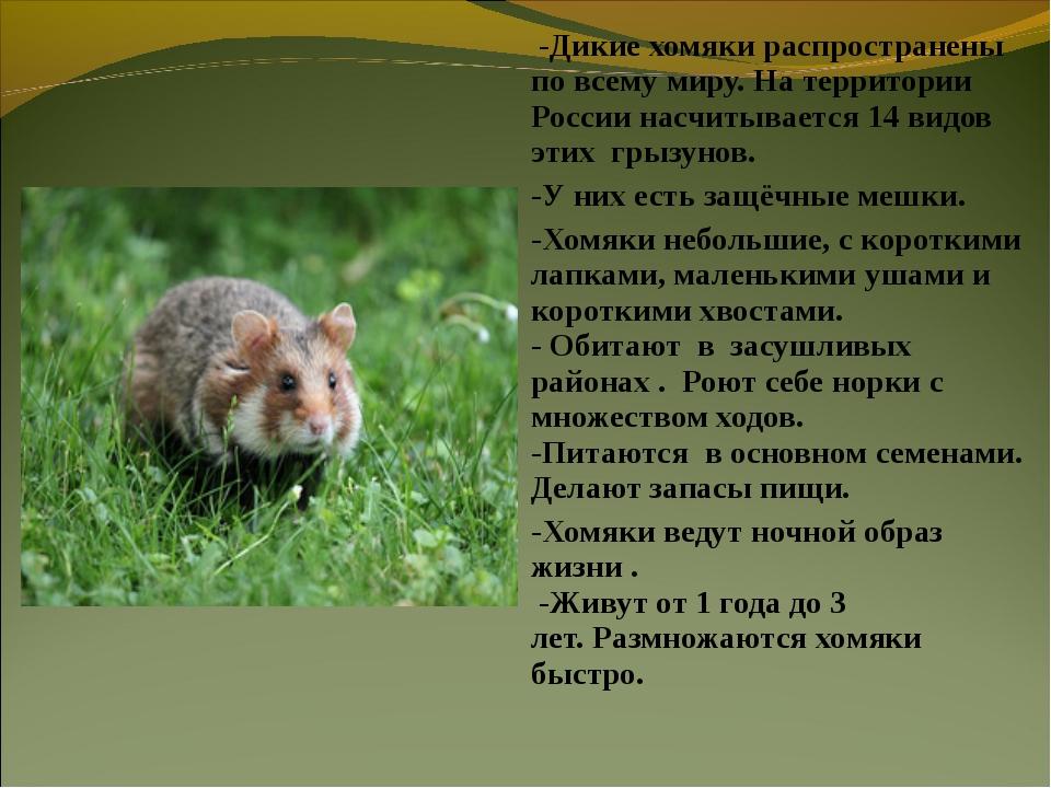 -Дикие хомяки распространены по всему миру. На территории России насчитывает...