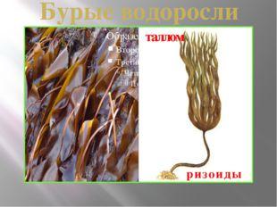 Бурые водоросли таллом ризоиды