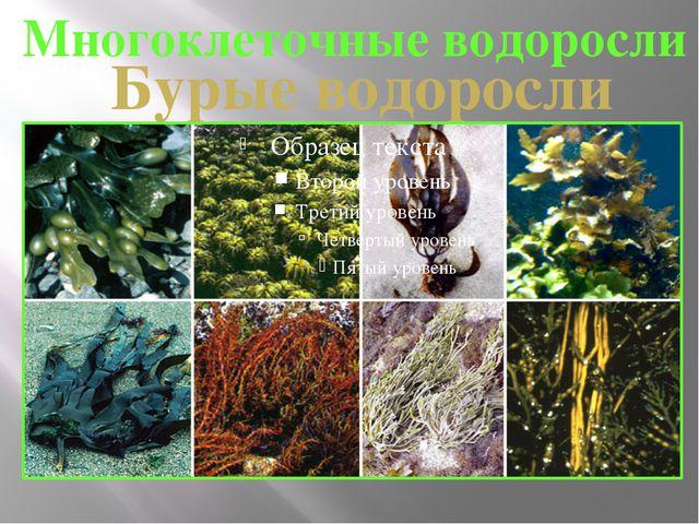 Многоклеточные водоросли Бурые водоросли