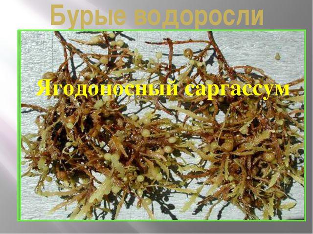 Бурые водоросли Саргассово море Ягодоносный саргассум