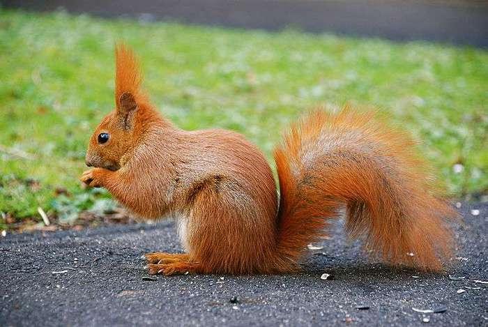 http://img0.liveinternet.ru/images/attach/c/4/80/258/80258324_800pxSquirrel_by_mareckr.jpg