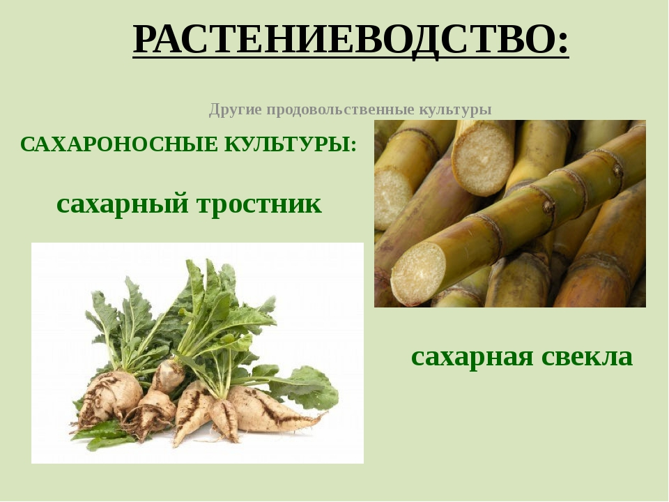 РАСТЕНИЕВОДСТВО: Другие продовольственные культуры САХАРОНОСНЫЕ КУЛЬТУРЫ: сах...
