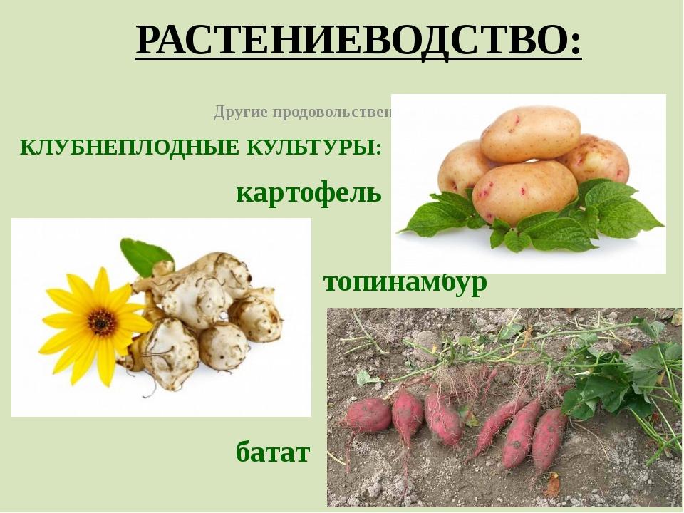 РАСТЕНИЕВОДСТВО: Другие продовольственные культуры КЛУБНЕПЛОДНЫЕ КУЛЬТУРЫ: ка...