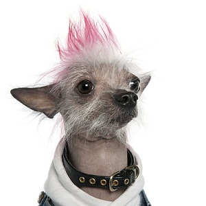 http://www.cesarsway.com/images/features/2012/sept/Dyeing-Your-Dogs-Hair-Is-a-Bad-Idea.jpg