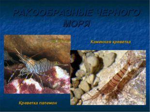РАКООБРАЗНЫЕ ЧЕРНОГО МОРЯ Креветка палемон Каменная креветка