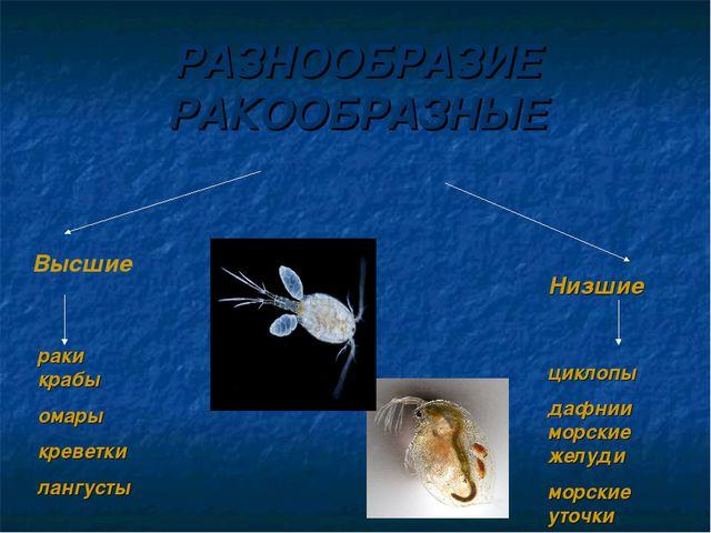 РАЗНООБРАЗИЕ РАКООБРАЗНЫЕ Высшие Низшие раки крабы омары креветки лангусты ци...