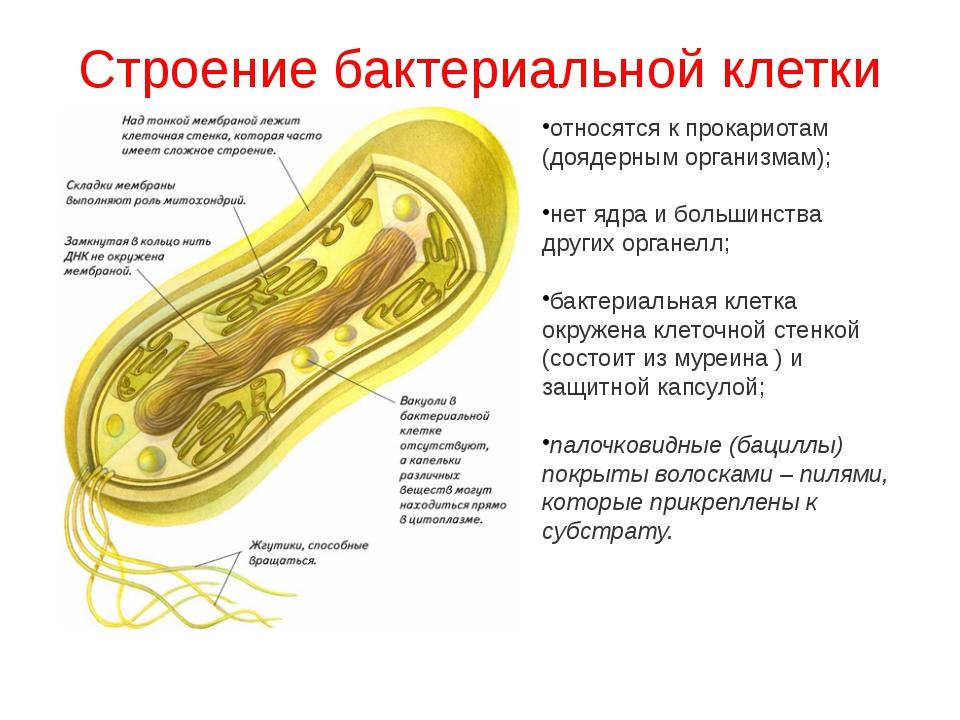 Строение бактериальной клетки относятся к прокариотам (доядерным организмам);...