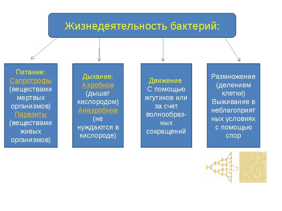 Жизнедеятельность бактерий: Питание: Сапротрофы (веществами мертвых организмо...