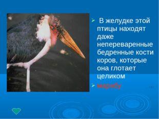 В желудке этой птицы находят даже непереваренные бедренные кости коров, кото