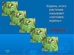 Корень этого растения называют «человек-корень» женьшень