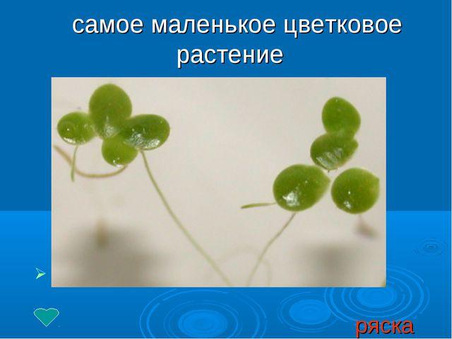 самое маленькое цветковое растение ряска
