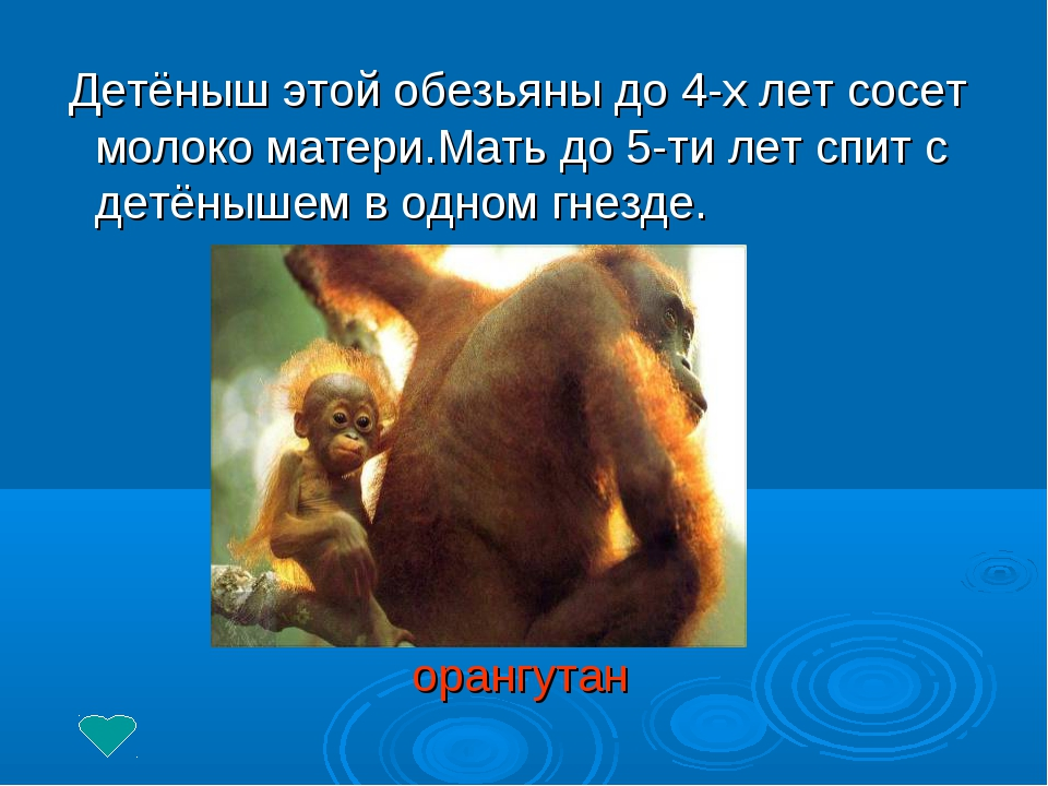 Детёныш этой обезьяны до 4-х лет сосет молоко матери.Мать до 5-ти лет спит с...