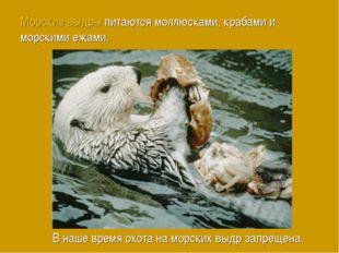 Морские выдры питаются моллюсками, крабами и морскими ежами. В наше время охо