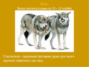 Волк. Волки охотятся стаями по 10 – 12 особей. Стая волков – серьезный против