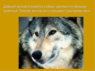 Добычей волков становятся слабые, увечные или больные животные. Поэтому волко