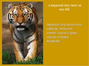 а амурский тигр тянет на все 400. Амурский тигр охотится на кабанов, пятнисты