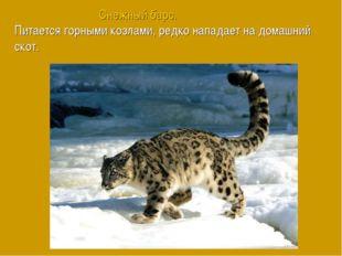 Снежный барс. Питается горными козлами, редко нападает на домашний скот.