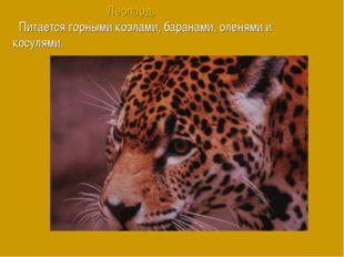 Леопард. Питается горными козлами, баранами, оленями и косулями.