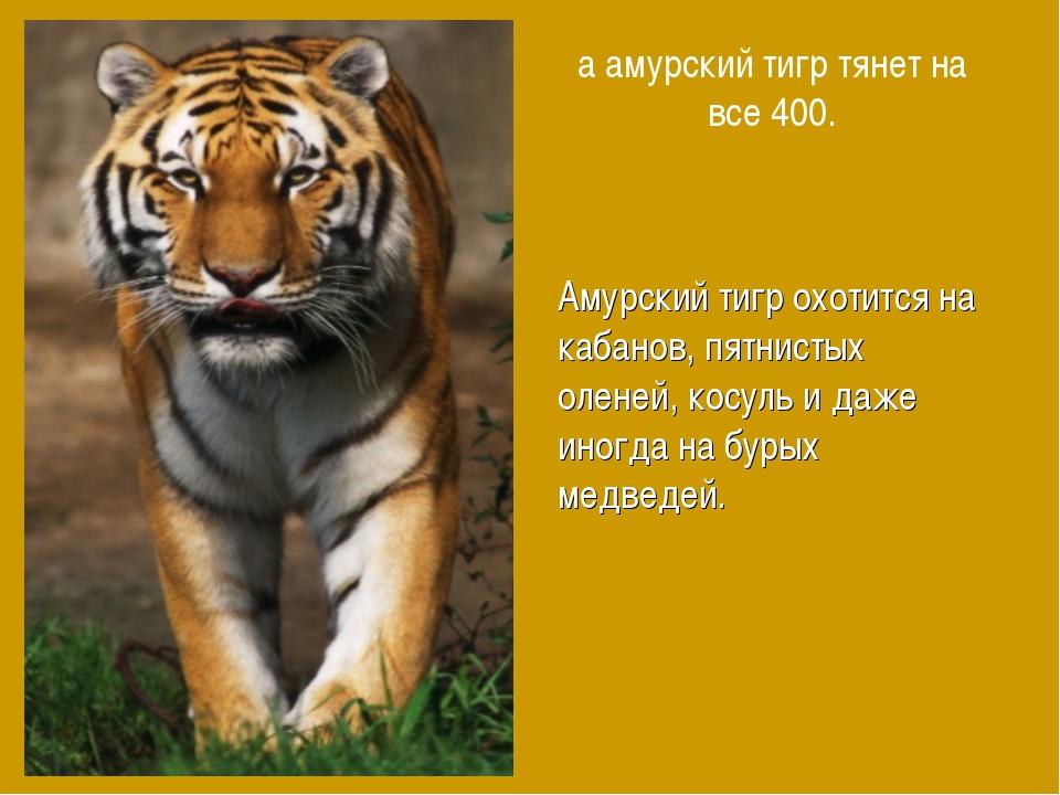 а амурский тигр тянет на все 400. Амурский тигр охотится на кабанов, пятнисты...