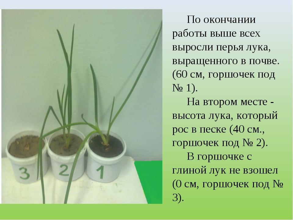 По окончании работы выше всех выросли перья лука, выращенного в почве. (60 см...