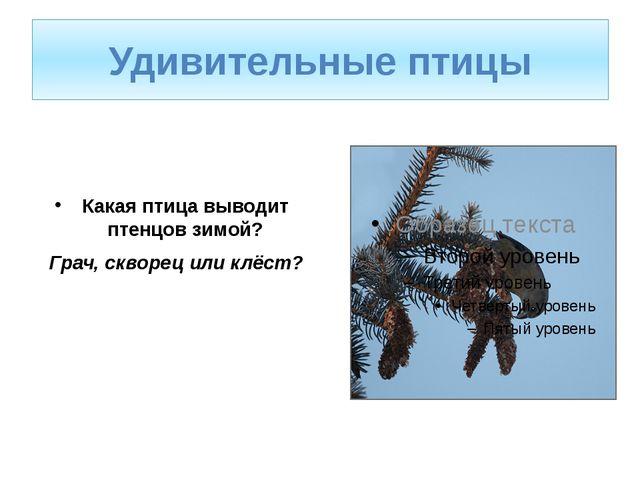 Какая птица выводит птенцов зимой? Грач, скворец или клёст? Удивительные птицы