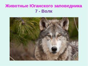 Животные Юганского заповедника 7 - Волк