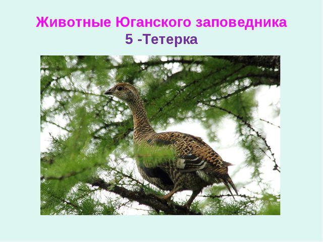 Животные Юганского заповедника 5 -Тетерка
