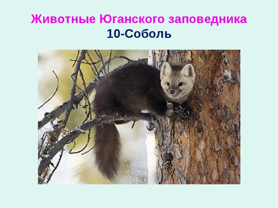 Животные Юганского заповедника 10-Соболь