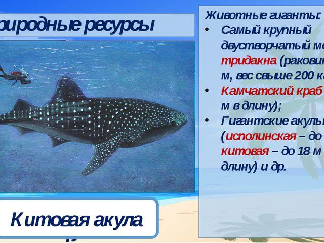 Дридакна Камчатский краб Исполинская акула Китовая акула Природные ресурсы Жи...