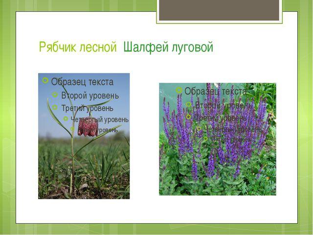 Рябчик лесной Шалфей луговой