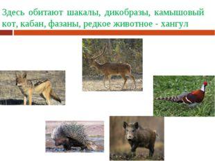 Здесь обитают шакалы, дикобразы, камышовый кот, кабан, фазаны, редкое животно