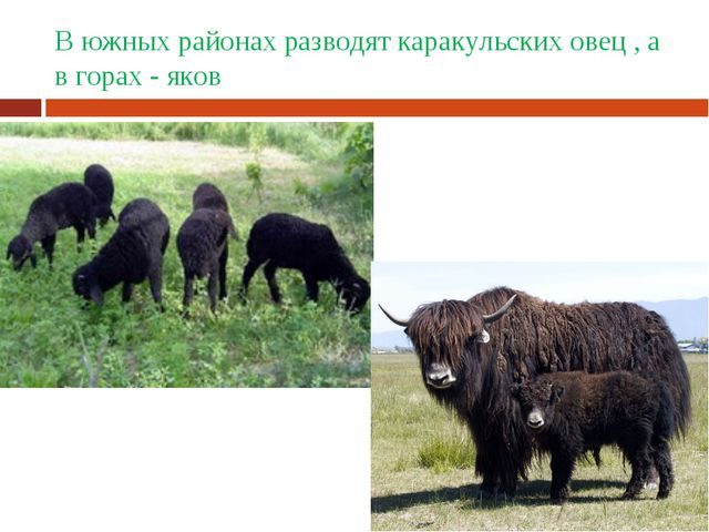 В южных районах разводят каракульских овец , а в горах - яков