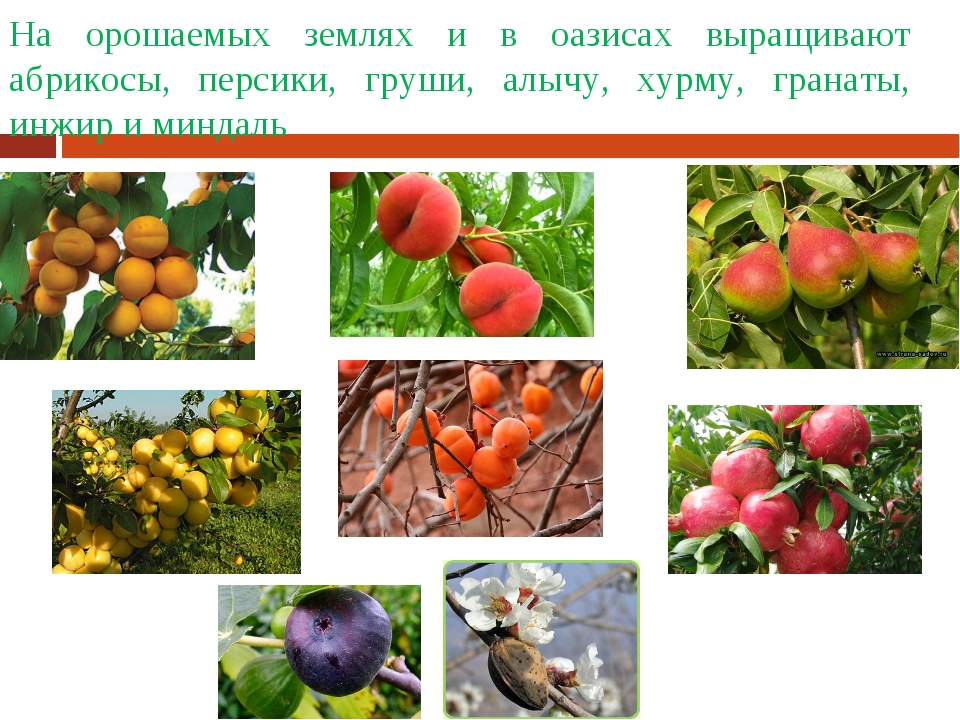 На орошаемых землях и в оазисах выращивают абрикосы, персики, груши, алычу, х...