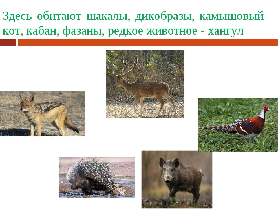 Здесь обитают шакалы, дикобразы, камышовый кот, кабан, фазаны, редкое животно...