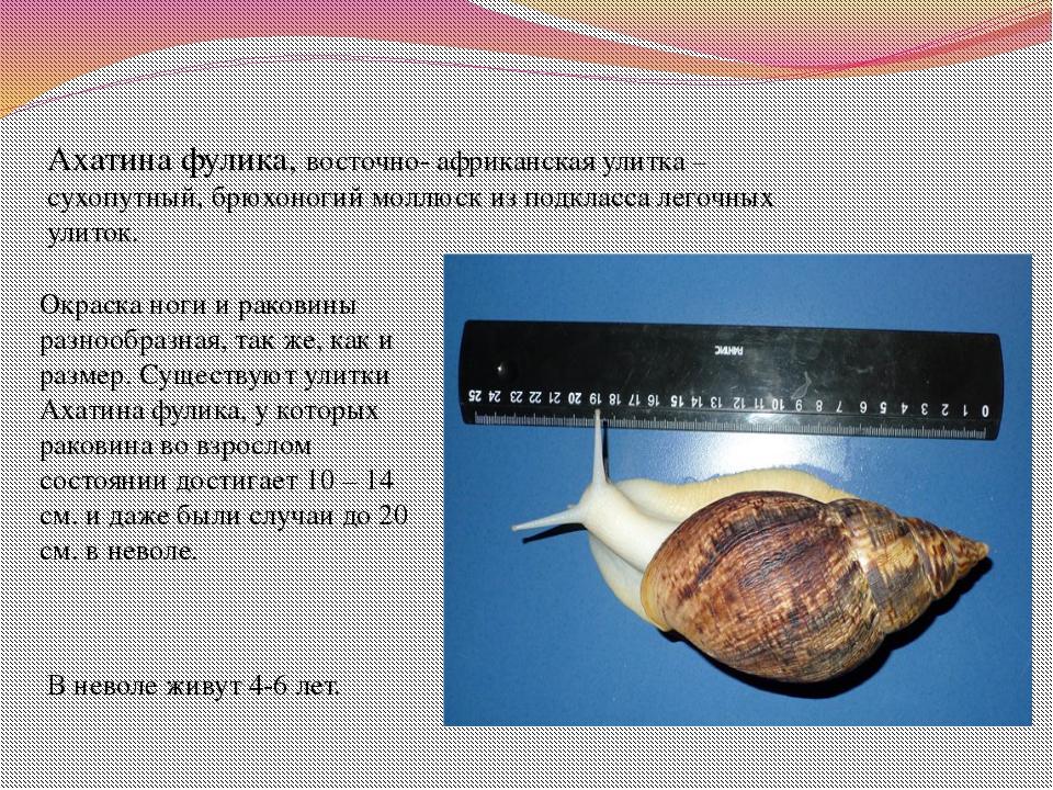 Ахатина фулика, восточно- африканская улитка – сухопутный, брюхоногий моллюск...