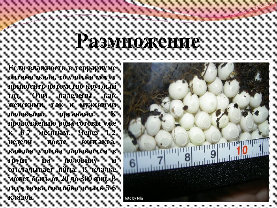 Размножение Если влажность в террариуме оптимальная, то улитки могут приносит...