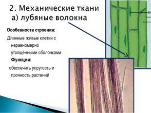 Особенности строения: Длинные живые клетки с неравномерно утолщёнными оболочк