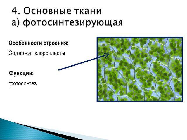 Особенности строения: Содержат хлоропласты Функции: фотосинтез