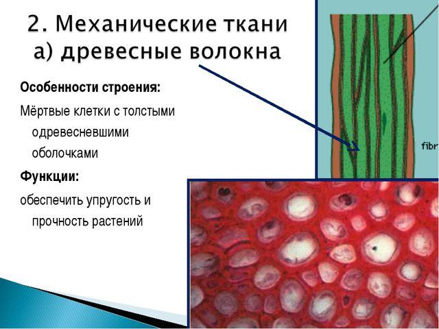 Особенности строения: Мёртвые клетки с толстыми одревесневшими оболочками Фун...