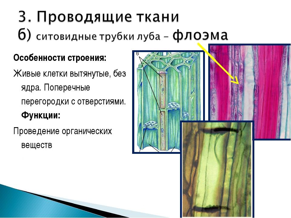 Особенности строения: Живые клетки вытянутые, без ядра. Поперечные перегородк...