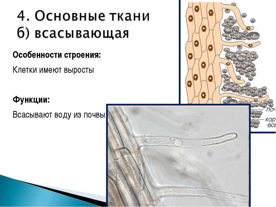 Особенности строения: Клетки имеют выросты Функции: Всасывают воду из почвы