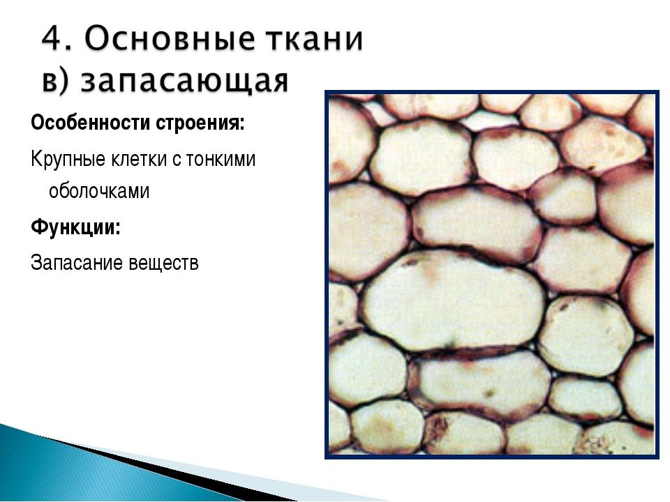 Особенности строения: Крупные клетки с тонкими оболочками Функции: Запасание...